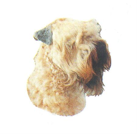 Hunddekal - Soft coat. wheat. terrier (huv)